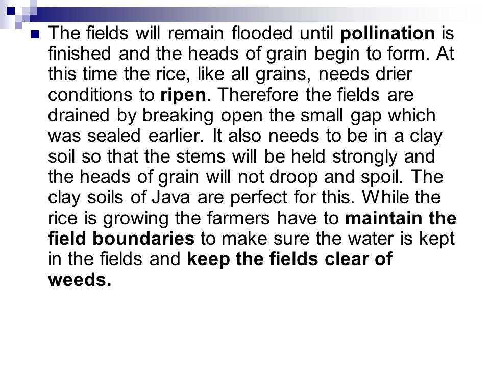 The fields will remain flooded until pollination is finished and the heads of grain begin to form.