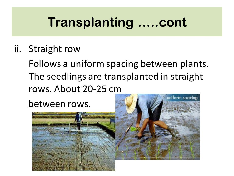 Transplanting …..cont Straight row