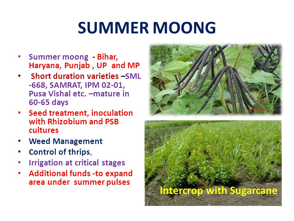 SUMMER MOONG Intercrop with Sugarcane