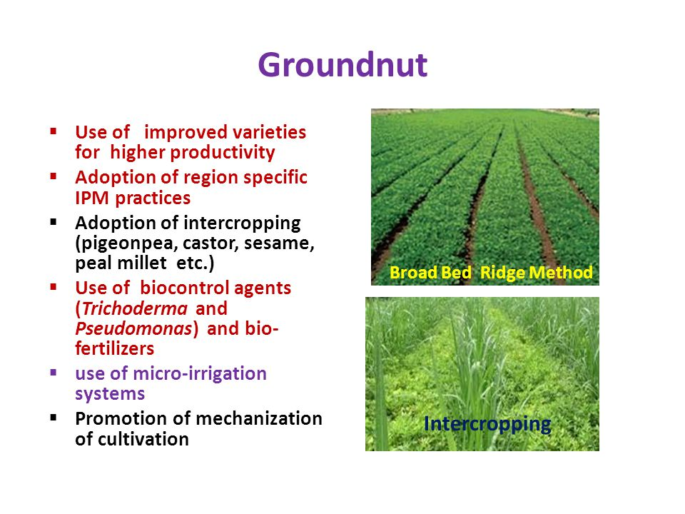 Groundnut Intercropping