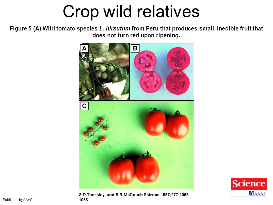 Crop wild relatives Figure 5 (A) Wild tomato species L. hirsutum from Peru that produces small, inedible fruit that does not turn red upon ripening.
