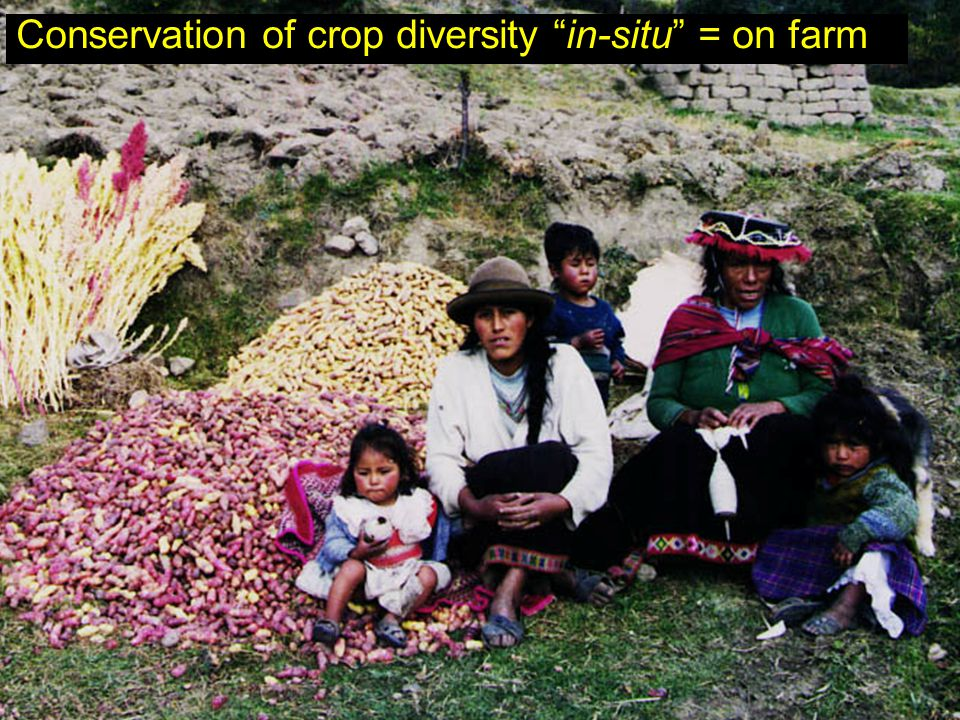 Conservation of crop diversity in-situ = on farm