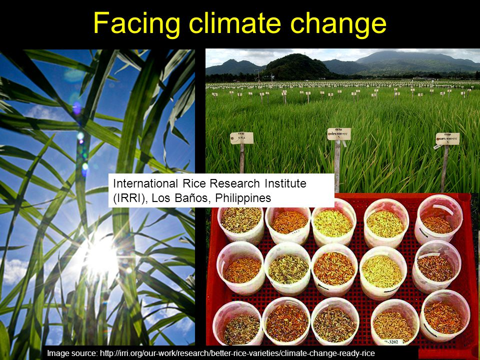 Facing climate change Rice is the major staple for half of humanity