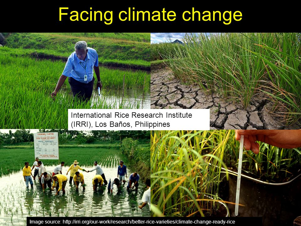 Facing climate change International Rice Research Institute (IRRI), Los Baños, Philippines.