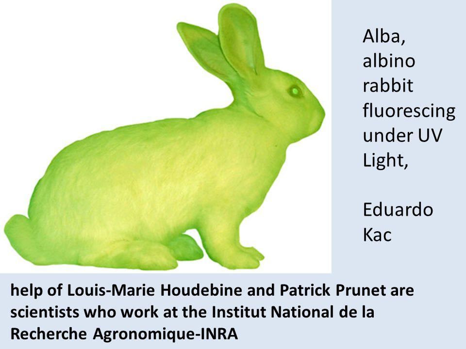 Alba, albino rabbit fluorescing under UV Light,