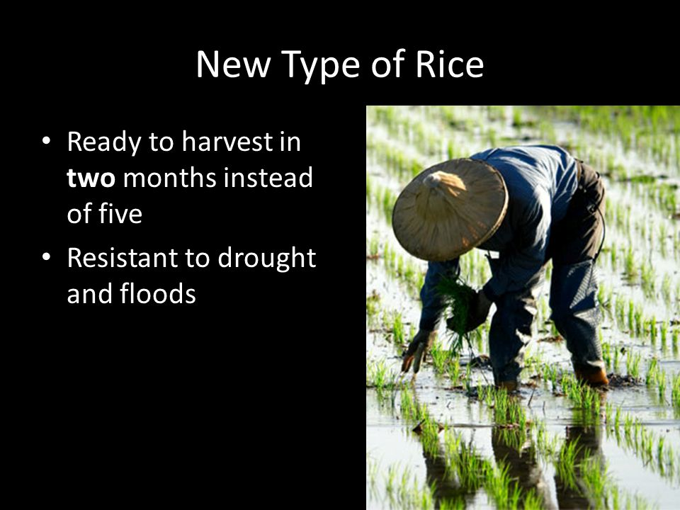 New Type of Rice Ready to harvest in two months instead of five