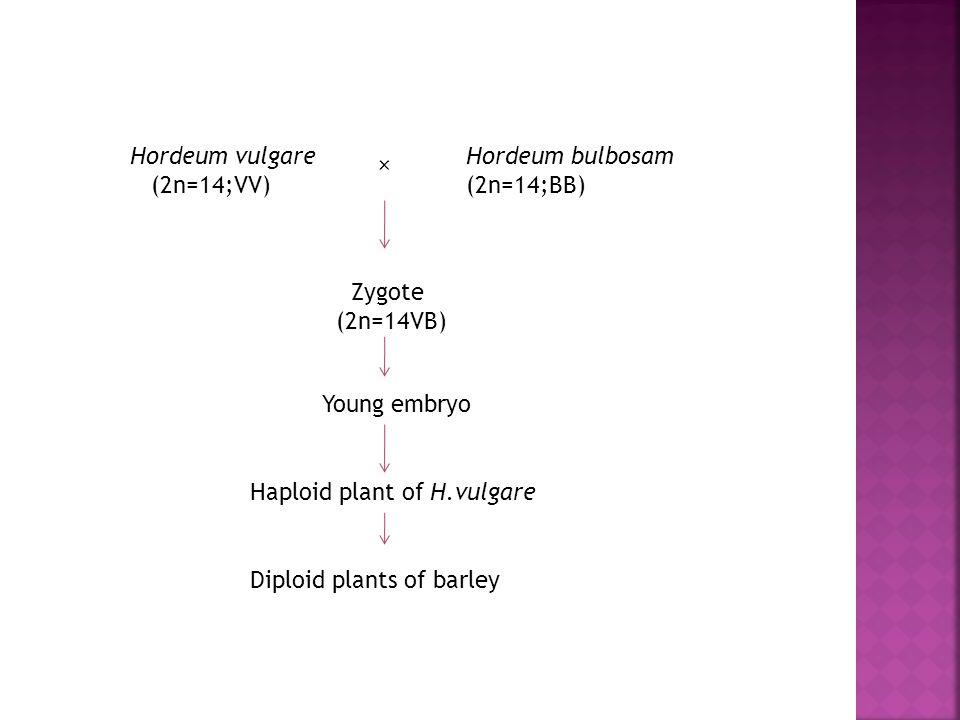 Hordeum vulgare (2n=14;VV) Hordeum bulbosam. (2n=14;BB) × Zygote. (2n=14VB) Young embryo. Haploid plant of H.vulgare.