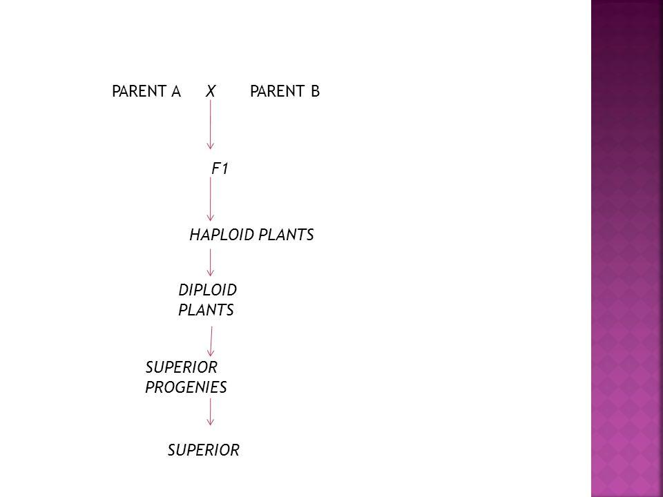PARENT A Х PARENT B F1 HAPLOID PLANTS DIPLOID PLANTS SUPERIOR PROGENIES SUPERIOR