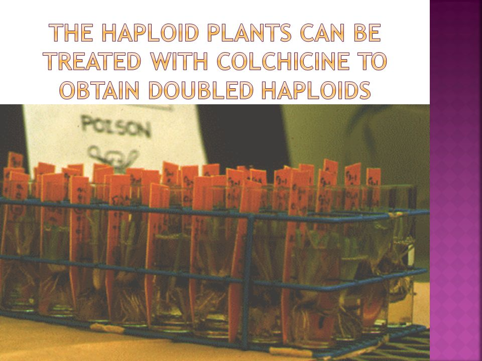 The haploid plants can be treated with colchicine to obtain doubled haploids