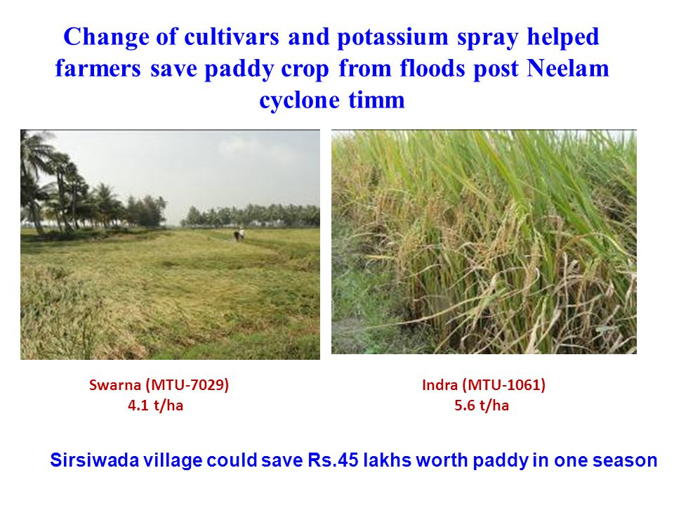 Change of cultivars and potassium spray helped farmers save paddy crop from floods post Neelam cyclone timm