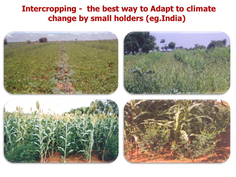 Intercropping - the best way to Adapt to climate change by small holders (eg.India)
