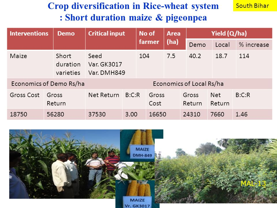 Crop diversification in Rice-wheat system : Short duration maize & pigeonpea