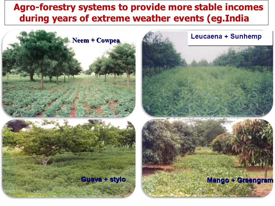 Agro-forestry systems to provide more stable incomes during years of extreme weather events (eg.India)
