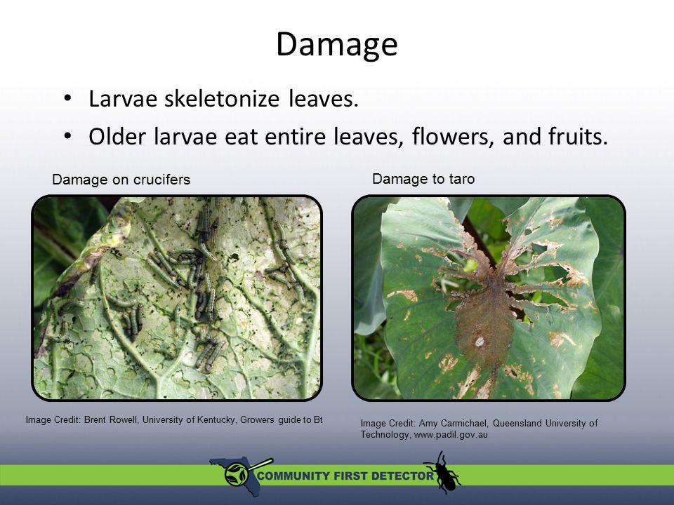 Damage Larvae skeletonize leaves.