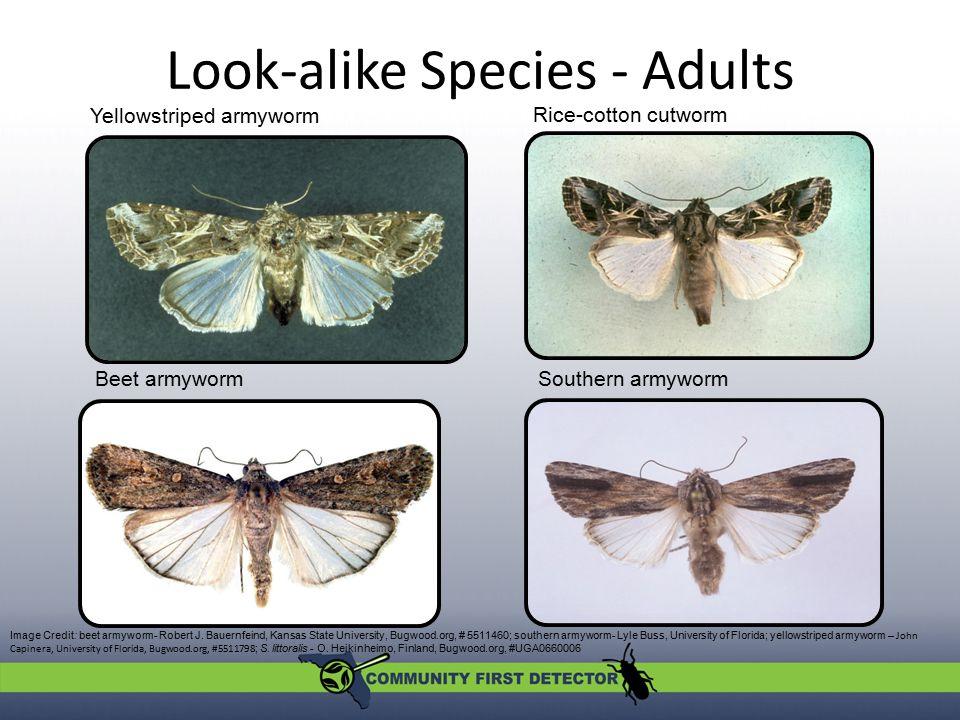 Look-alike Species - Adults