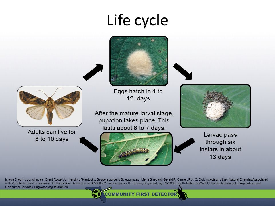 Life cycle Eggs hatch in 4 to 12 days. After the mature larval stage, pupation takes place. This lasts about 6 to 7 days.