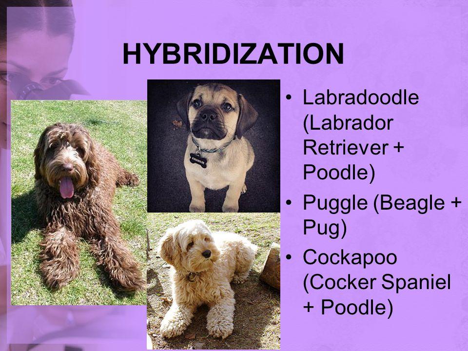 HYBRIDIZATION Labradoodle (Labrador Retriever + Poodle)