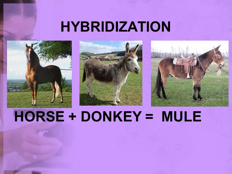 HYBRIDIZATION HORSE + DONKEY = MULE