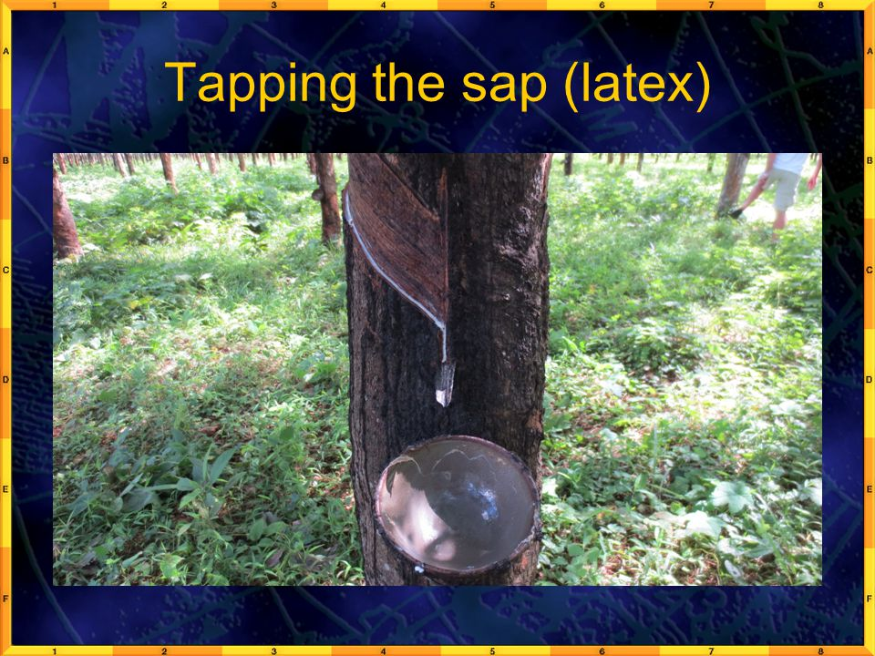 Tapping the sap (latex)