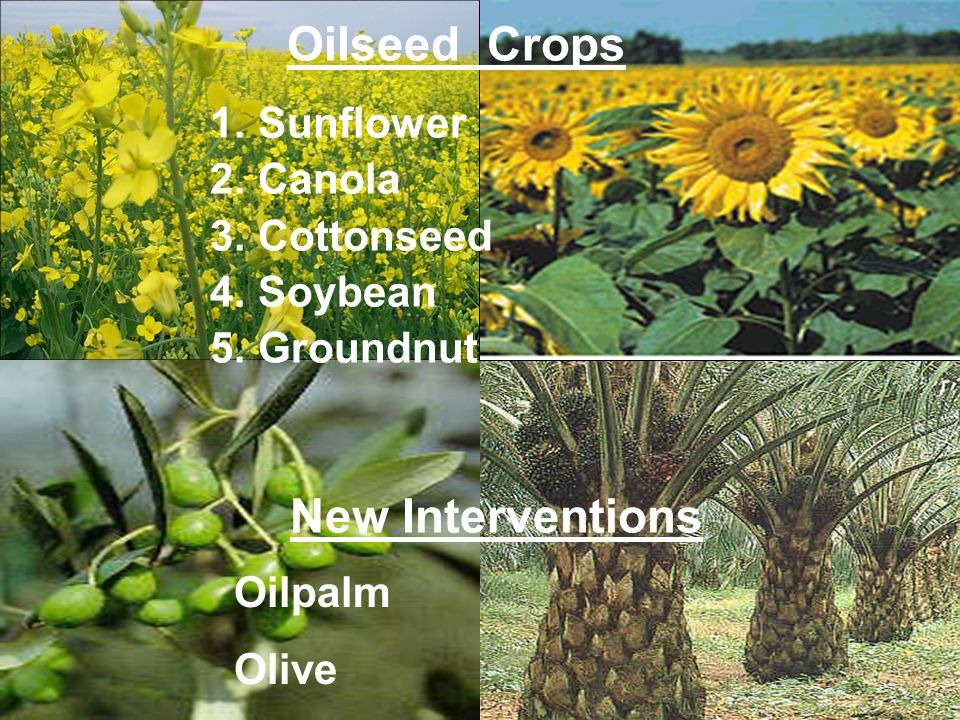 Oilseed Crops New Interventions