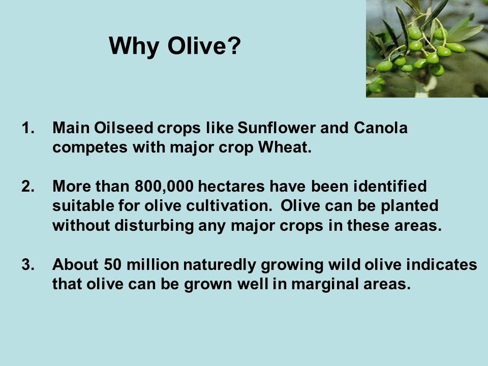 Why Olive 1. Main Oilseed crops like Sunflower and Canola competes with major crop Wheat.