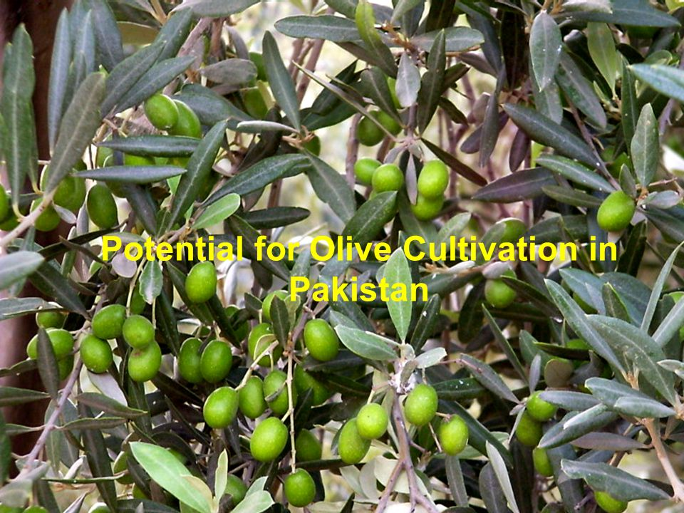 Potential for Olive Cultivation in Pakistan