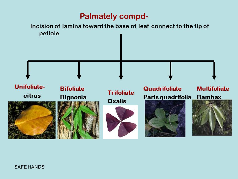 Palmately compd- Incision of lamina toward the base of leaf connect to the tip of petiole. Unifoliate- citrus.
