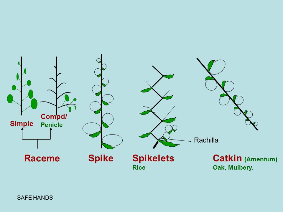Raceme Spike Spikelets Catkin (Amentum) Compd/ Simple Rachilla Penicle