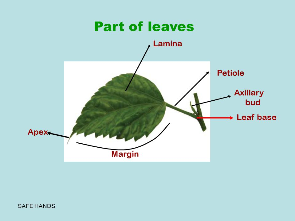 Part of leaves Lamina Petiole Axillary bud Leaf base Apex Margin