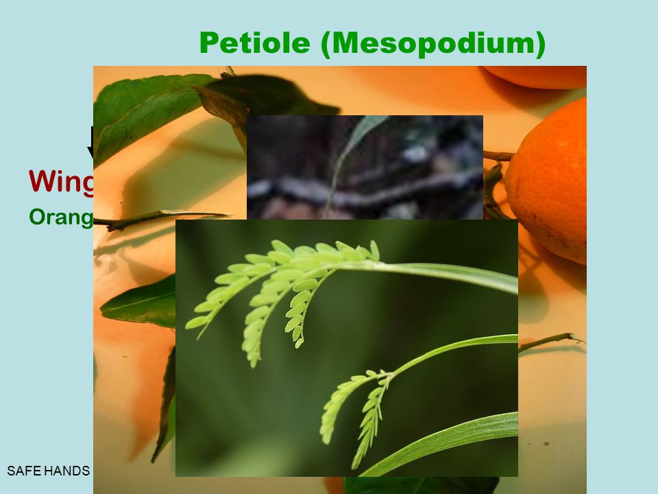 Petiole (Mesopodium) Winged Tendrillar Phyllode Floating Orange