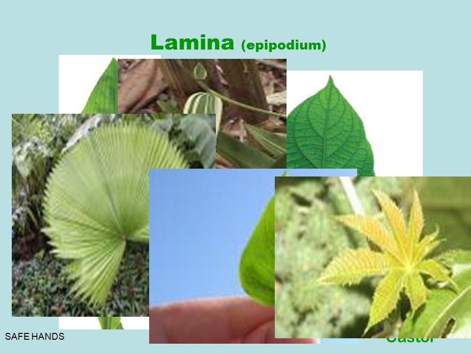 Lamina (epipodium) Venation Parallel Monocot Reticular Dicot