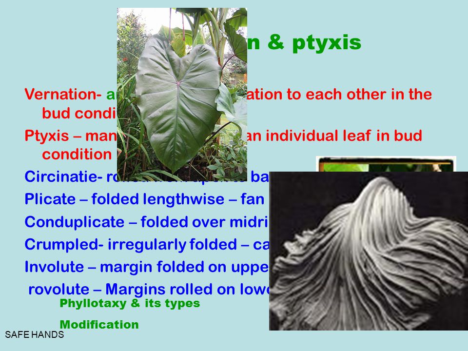Vernation & ptyxis Vernation- arrangement in relation to each other in the bud condition.