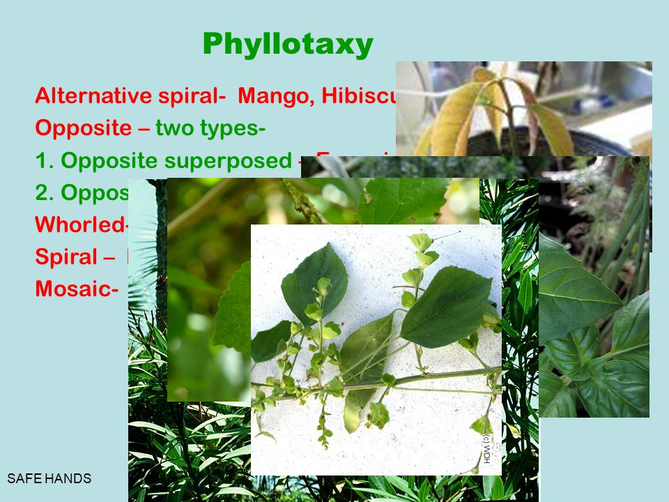 Phyllotaxy Alternative spiral- Mango, Hibiscus. Opposite – two types-