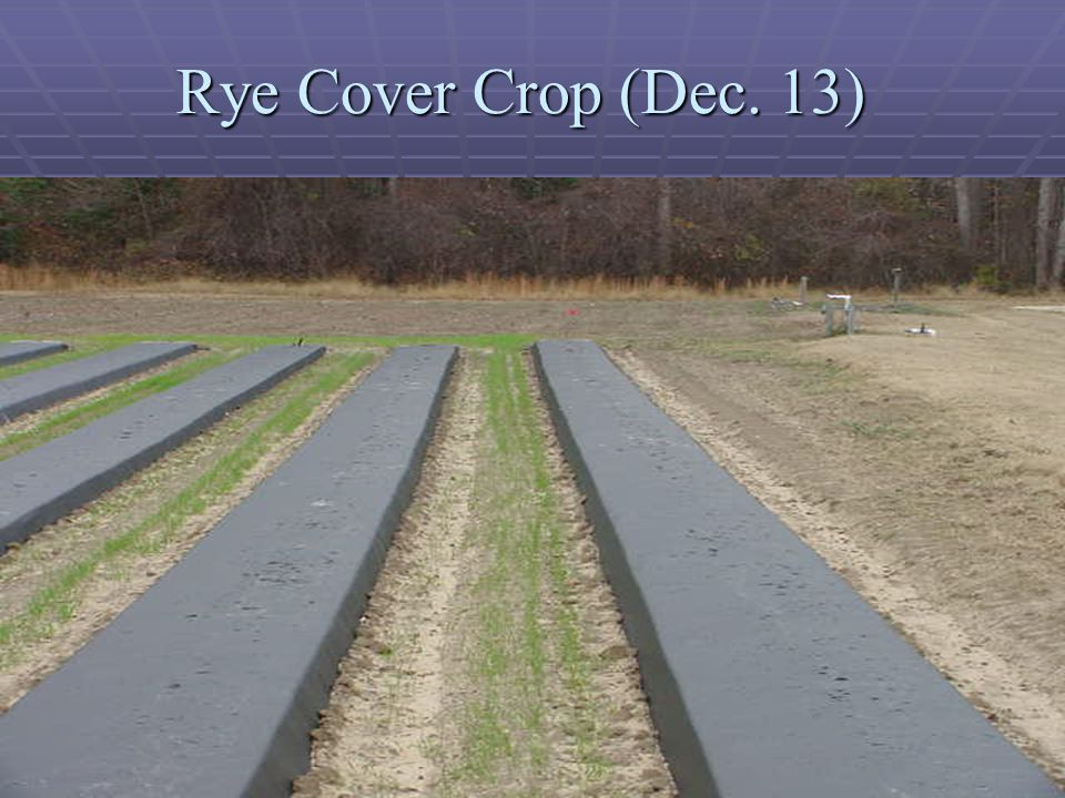 Rye Cover Crop (Dec. 13)
