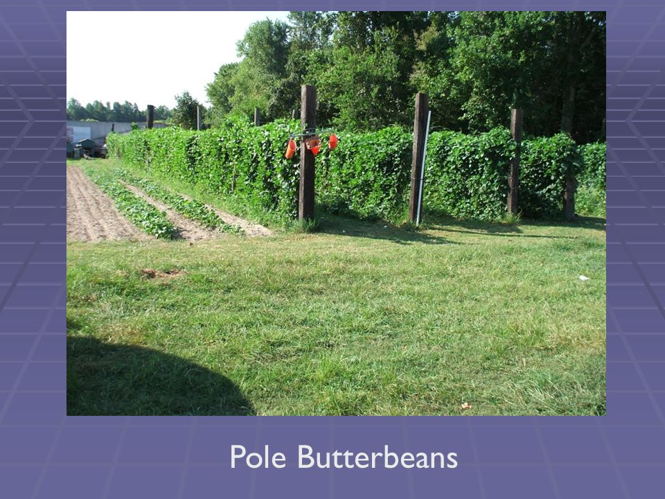 Pole Butterbeans