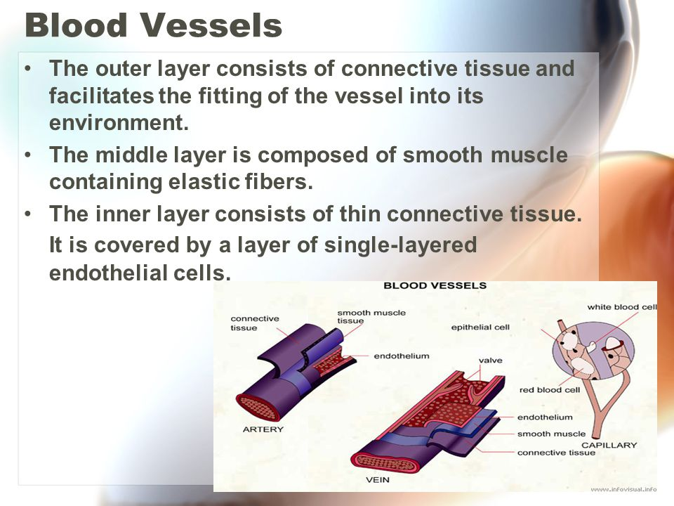 Blood Vessels The outer layer consists of connective tissue and facilitates the fitting of the vessel into its environment.