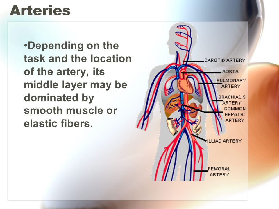 Arteries Depending on the task and the location of the artery, its middle layer may be dominated by smooth muscle or elastic fibers.