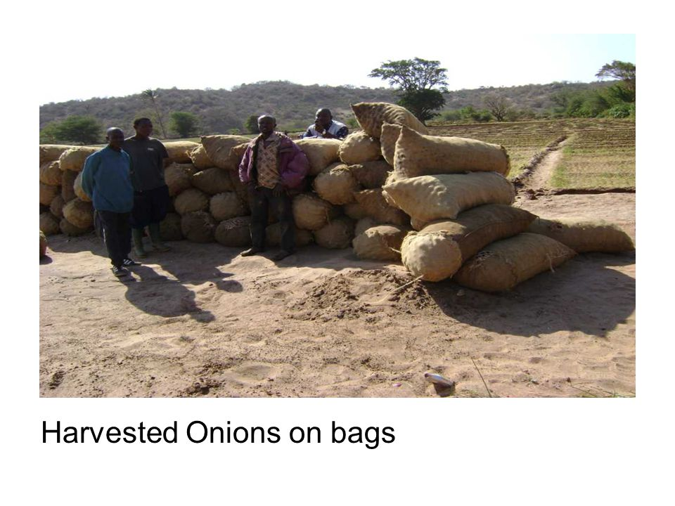 Harvested Onions on bags