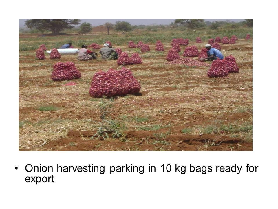 Onion harvesting parking in 10 kg bags ready for export