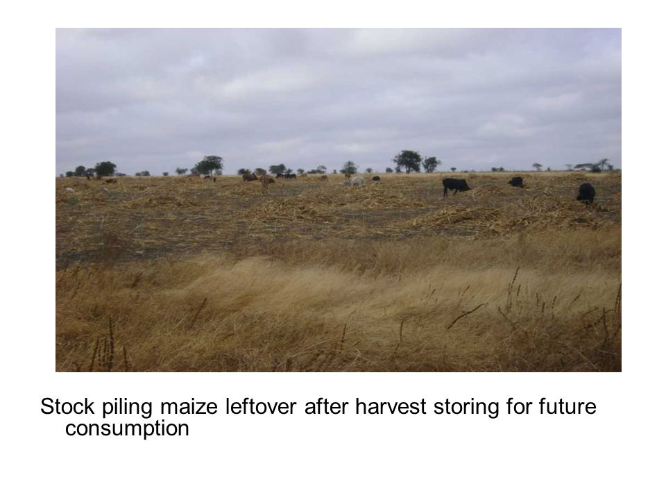Stock piling maize leftover after harvest storing for future consumption