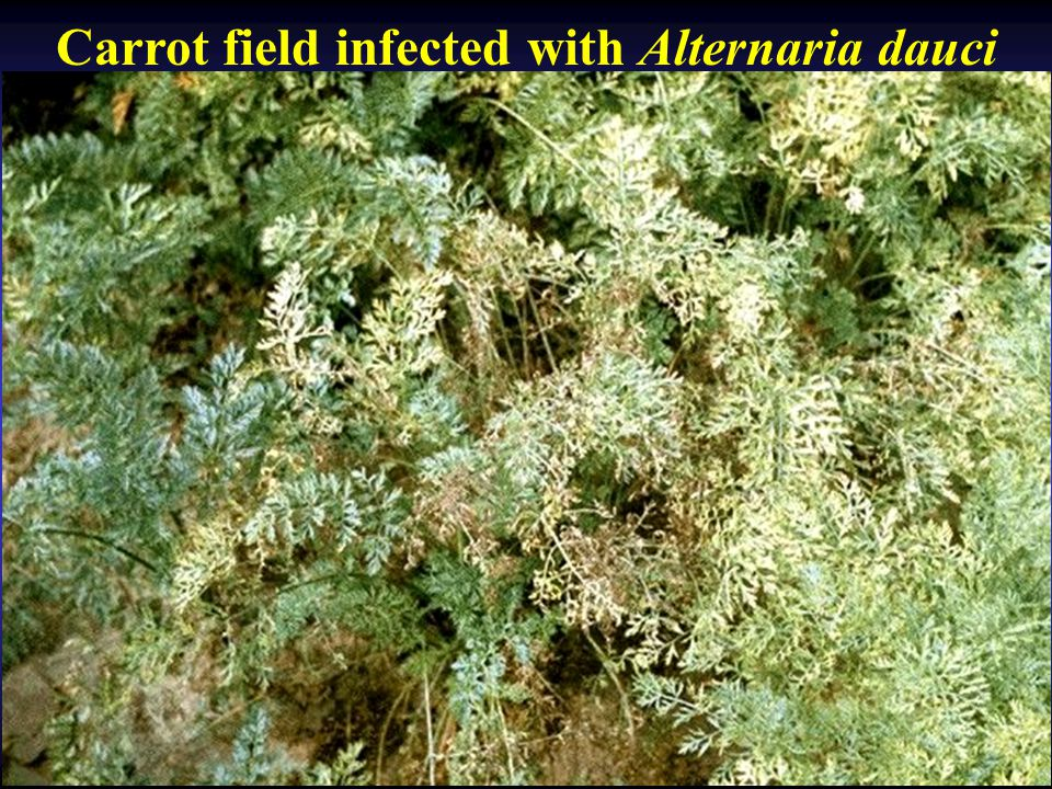 Carrot field infected with Alternaria dauci