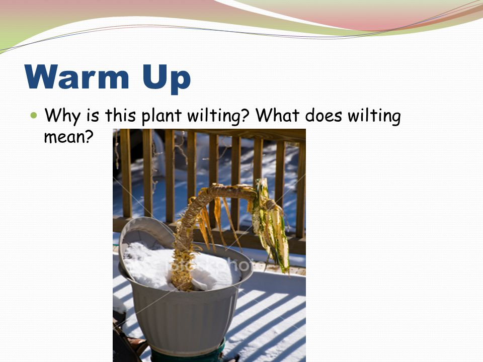 Warm Up Why is this plant wilting What does wilting mean