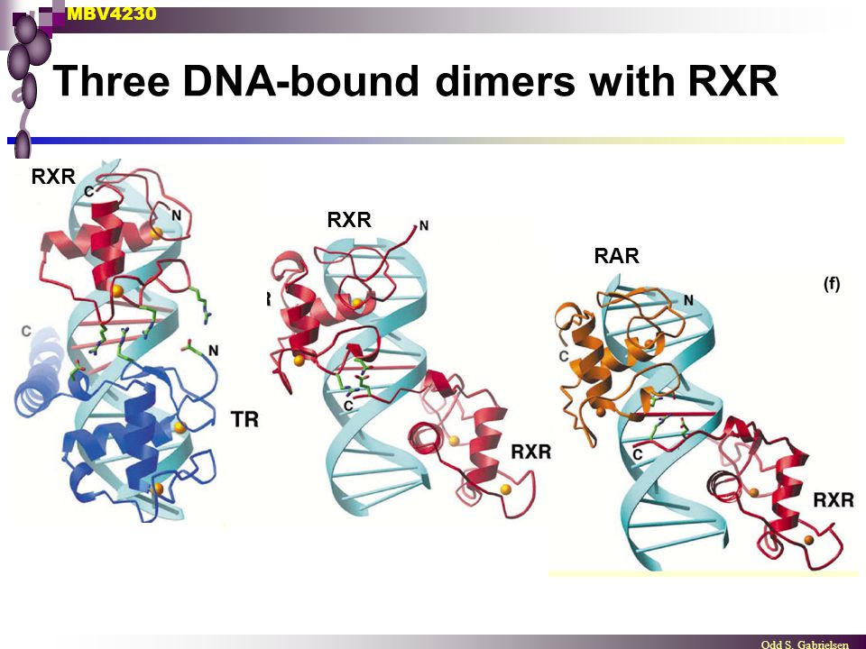 Three DNA-bound dimers with RXR