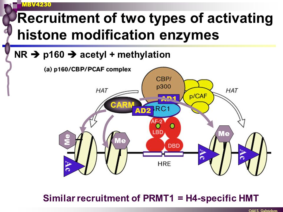Recruitment of two types of activating histone modification enzymes