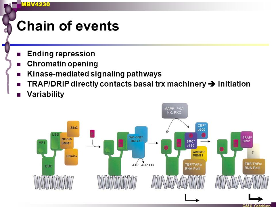 Chain of events Ending repression Chromatin opening