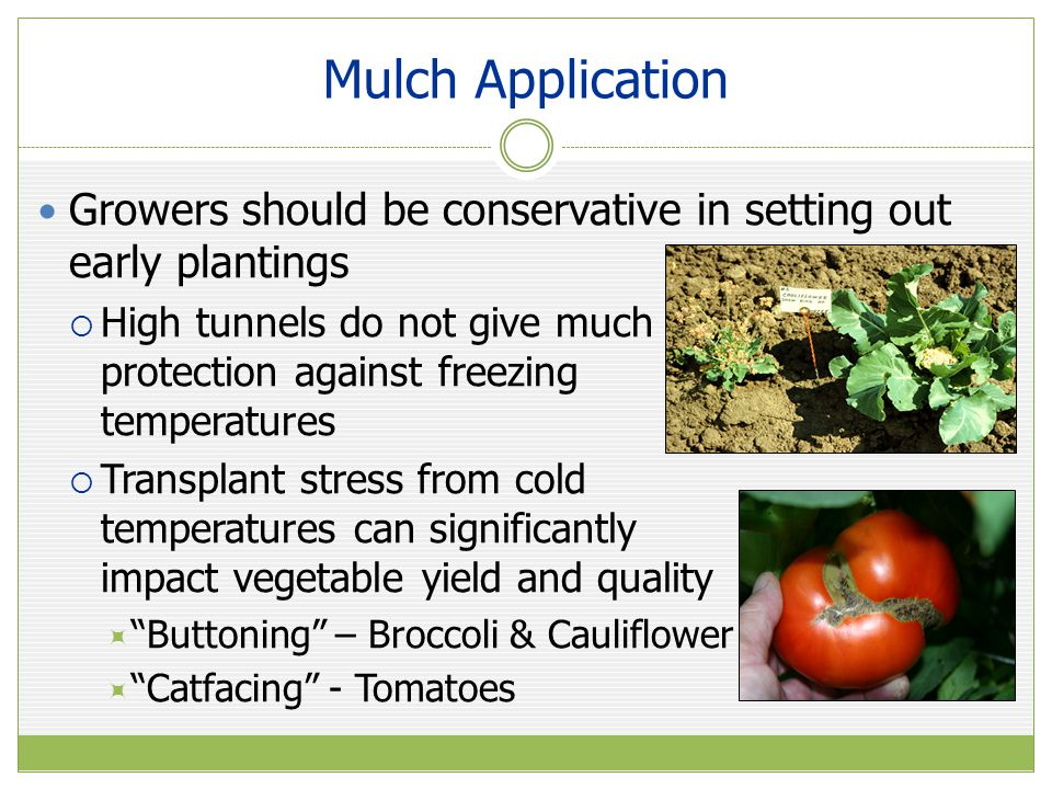 Mulch Application Growers should be conservative in setting out early plantings.