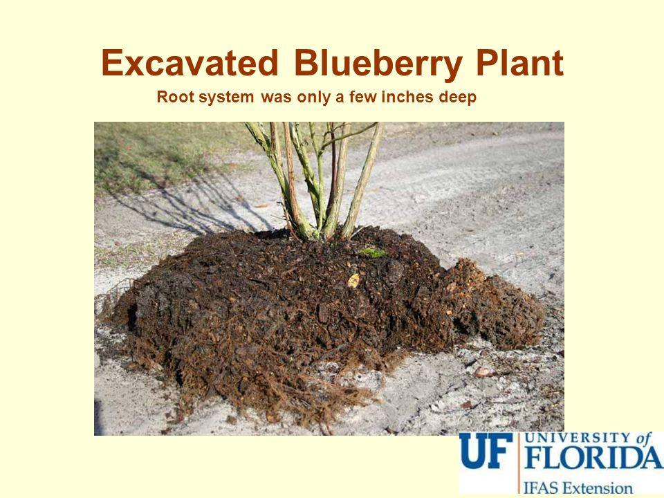 Excavated Blueberry Plant
