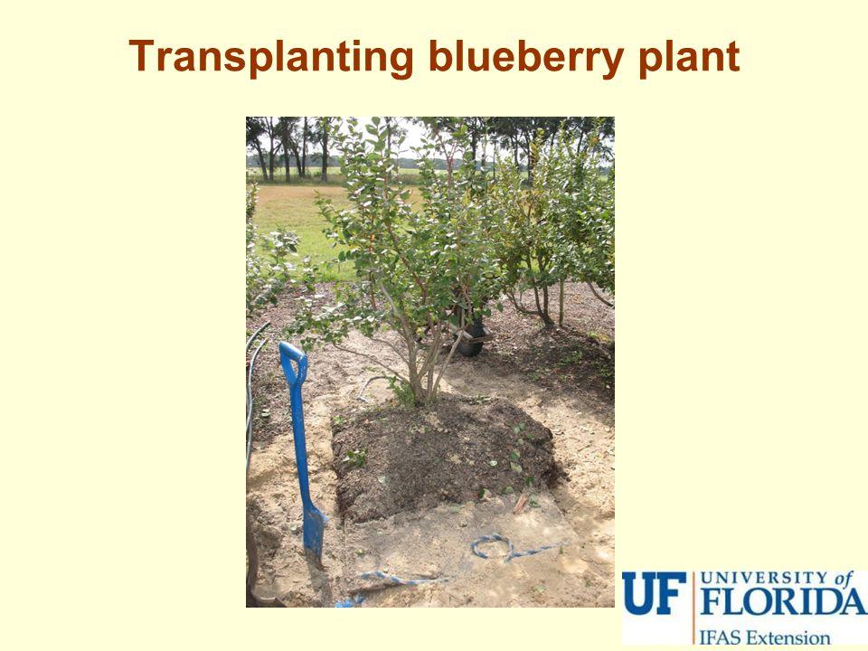 Transplanting blueberry plant