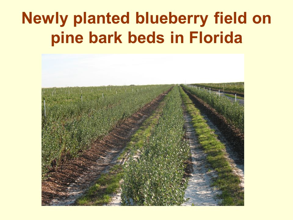 Newly planted blueberry field on pine bark beds in Florida
