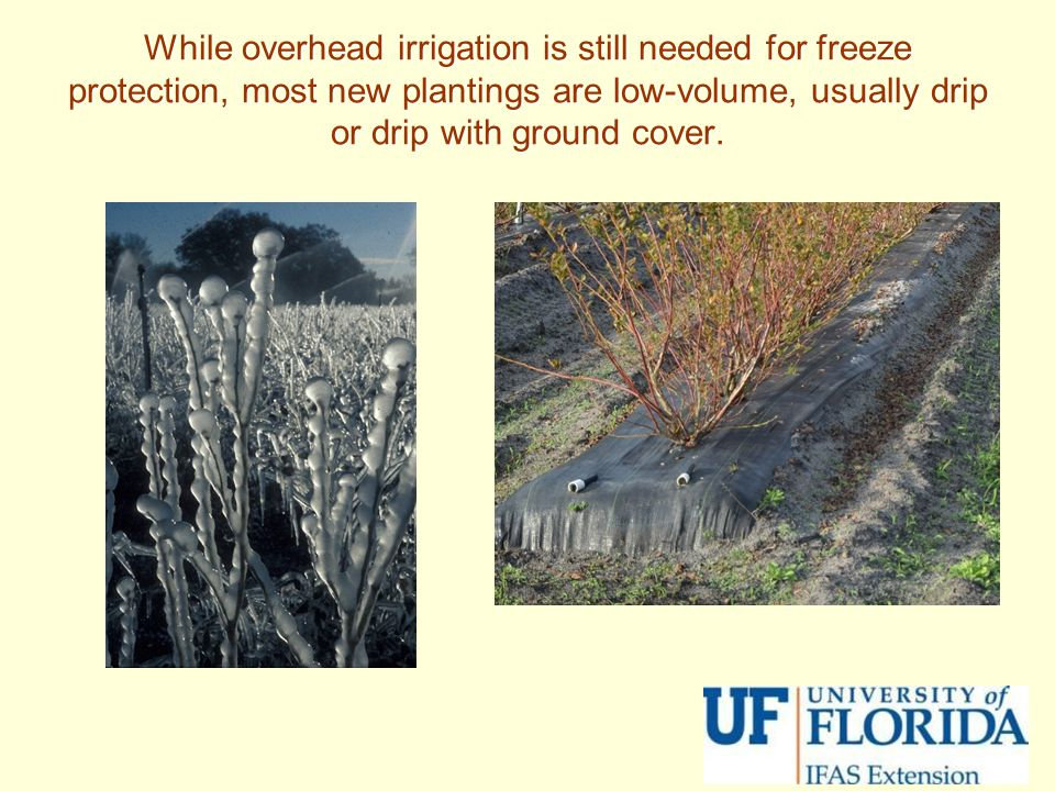 While overhead irrigation is still needed for freeze protection, most new plantings are low-volume, usually drip or drip with ground cover.
